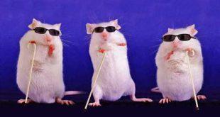 بینایی موش کور